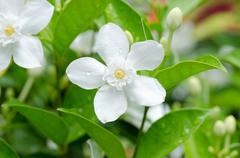 wringhtia antidysenterica - stock photo