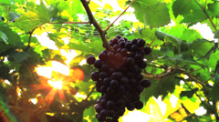 Grapes on tree Stock Footage