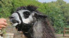 Lama feeding, Closeup - stock footage