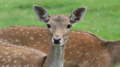 Looking Deer close up - stock footage