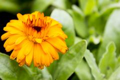 yellow gerbera - stock photo
