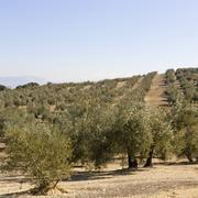 an olive grove in sevilla - stock photo