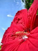 Red Hardy Hibiscus Stock Photos