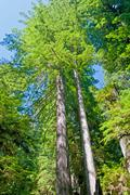 Redwood pair in the wilds Stock Photos