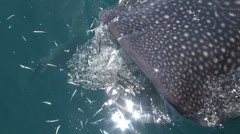 Close up shot for the whale shark mouth Stock Footage