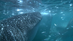 Whale sharks eating  - Rhincodon typus, underwater shot Stock Footage