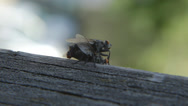 Stock Video Footage of reproduction of a fly