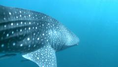 Whale shark swimming - tracking shot  Stock Footage