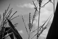 Corn husk Stock Photos