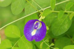 butterfly pea flower medicinal herbs - stock photo