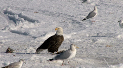 Bald Eagle in the snow - stock footage
