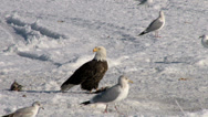 Stock Video Footage of Bald Eagle in the snow