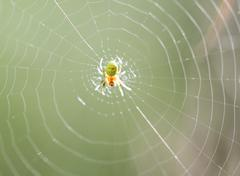 Small yellow-green spider - stock photo