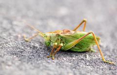 Large green grasshopper locust - stock photo