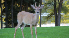 Young male deer looking at camera (a) Stock Footage