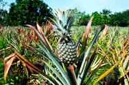 Stock Photo of Pineapple cultivation