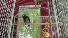 African grey parrot sitting on perch in white cage (dolly shot) Stock Footage
