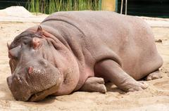 Sleeping hippopotamus Stock Photos