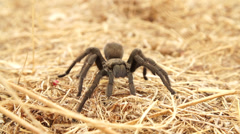 Tarantula in 240fps Stock Footage