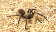 Stock Video Footage of Tartantula Walking Slow Motion