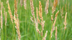 Reed Canary Grass (Phalaris arundinacea) Stock Footage