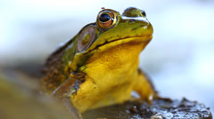 Green Frog (Rana clamitans) Stock Footage