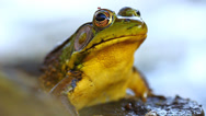 Stock Video Footage of Green Frog (Rana clamitans)