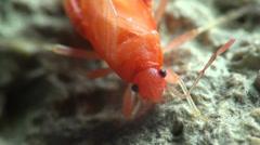 Insect red stink bug, Melamphaus rubrocinctu Stock Footage