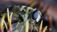 Stock Video Footage of Hairy bee macro