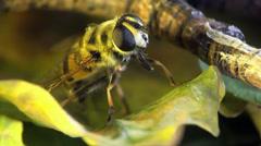 Hairy bee macro Stock Footage