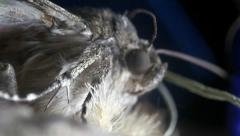 Woolly butterfly Yellow macro Stock Footage