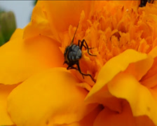 Bees busy pollinating a yellow flower (YELLOW FLOWER AND INSECTS--1D) Stock Footage