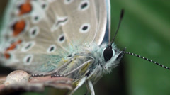Butterfly Lepidoptera macro Stock Footage