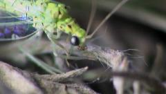 Neuroptera insect macro Stock Footage