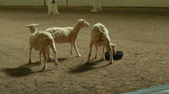 Sheep Dog Competition at the Big E Fair Stock Footage