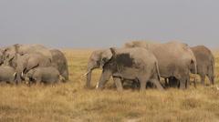 African elephants feeding Stock Footage