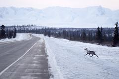 Wild reindeer caribou attempts to cross icy highway northern alaska Stock Photos