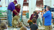 Stock Video Footage of Miss Connecticut 2010 at Big E Sheep Shearing Demo