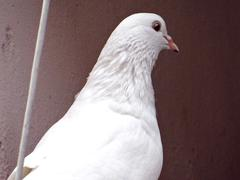 White Pigeon close up3 - stock photo