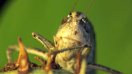 Stock Video Footage of Macro head grasshopper