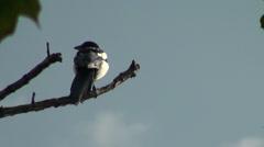 Eurasian Magpie bird Stock Footage