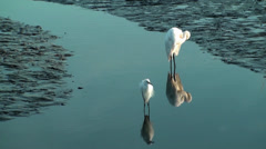 Two Egrets in shallow water - stock footage
