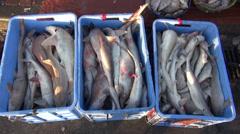 Dead sharks in box - Dubai fish market,shark finning Stock Footage