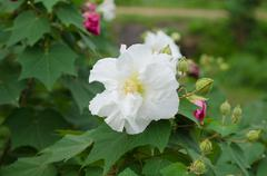 confederate rose flower ( hibiscus mutabilis) - stock photo