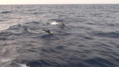 Dolphins surfing and jumping on the waves Stock Footage