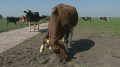 agressive cow - stock footage