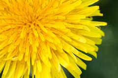 Stock Photo of dandelion on macro closeup
