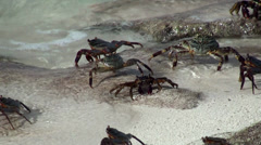 Crabs on the coast of the Maldives Stock Footage