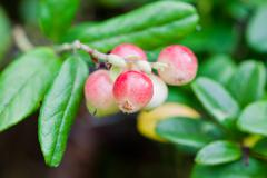 forest cowberrys on a tuft - stock photo