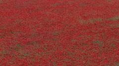 Poppy Field - Tight Stock Footage